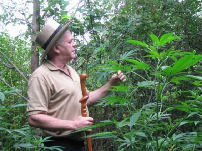 Rick Simpson is looking at some outdoor grown cannabis plants which will likely be used to make his Rick Simpson Oil