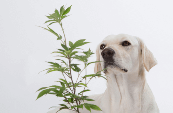 a dog about to eat a cannabis plant